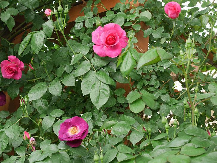 ソニャドール(ツルバラ)の花が増えて来た。2018年-11.jpg