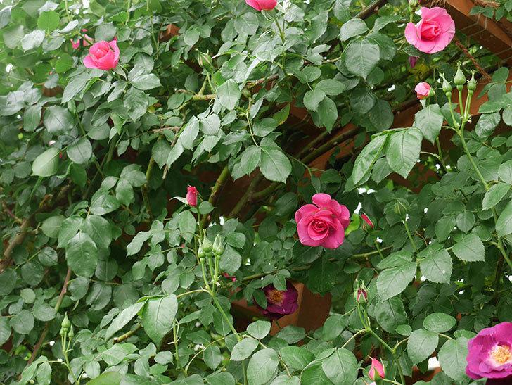 ソニャドール(ツルバラ)の花が増えて来た。2018年-12.jpg