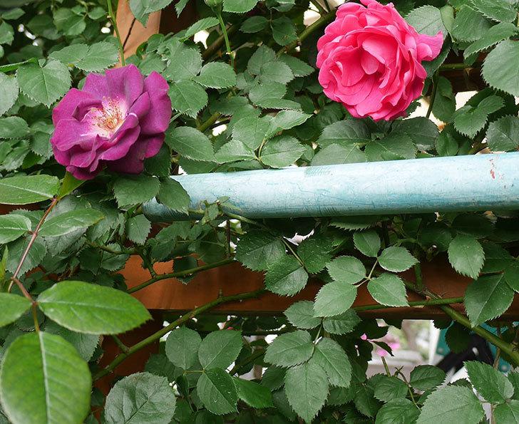 ソニャドール(ツルバラ)の花が増えて来た。2018年-13.jpg