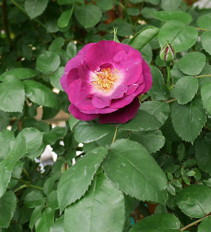 ソニャドール(ツルバラ)の花が増えて来た。2018年-15.jpg