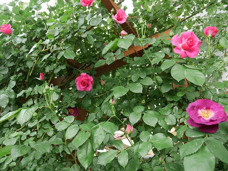 ソニャドール(ツルバラ)の花が増えて来た。2018年-16.jpg