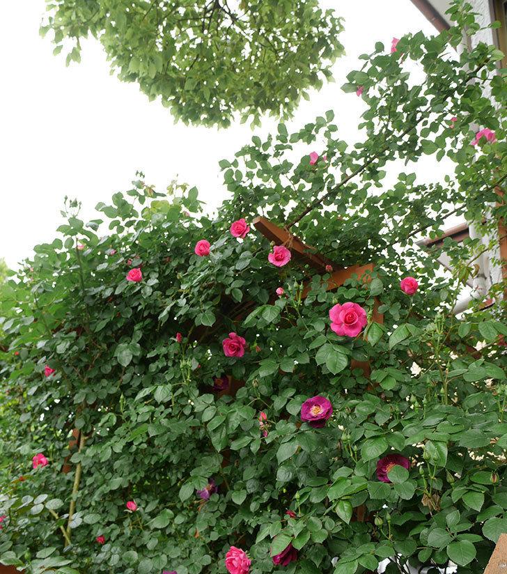 ソニャドール(ツルバラ)の花が増えて来た。2018年-17.jpg
