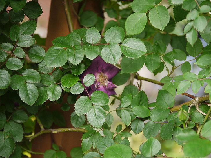 ソニャドール(ツルバラ)の花が増えて来た。2018年-19.jpg