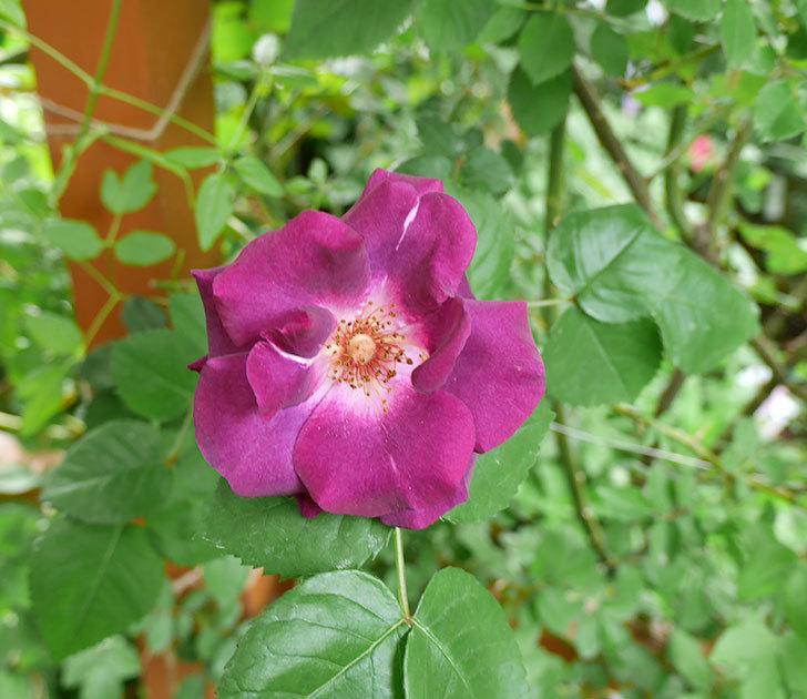 ソニャドール(ツルバラ)の花が増えて来た。2018年-2.jpg