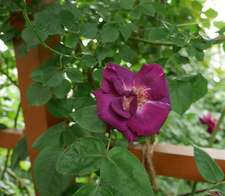 ソニャドール(ツルバラ)の花が増えて来た。2018年-3.jpg