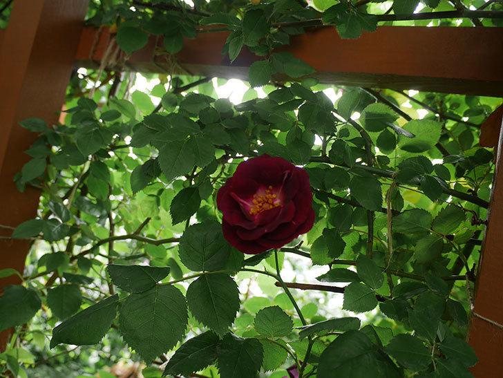 ソニャドール(ツルバラ)の花が増えて来た。2018年-4.jpg