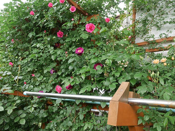 ソニャドール(ツルバラ)の花が増えて来た。2018年-6.jpg