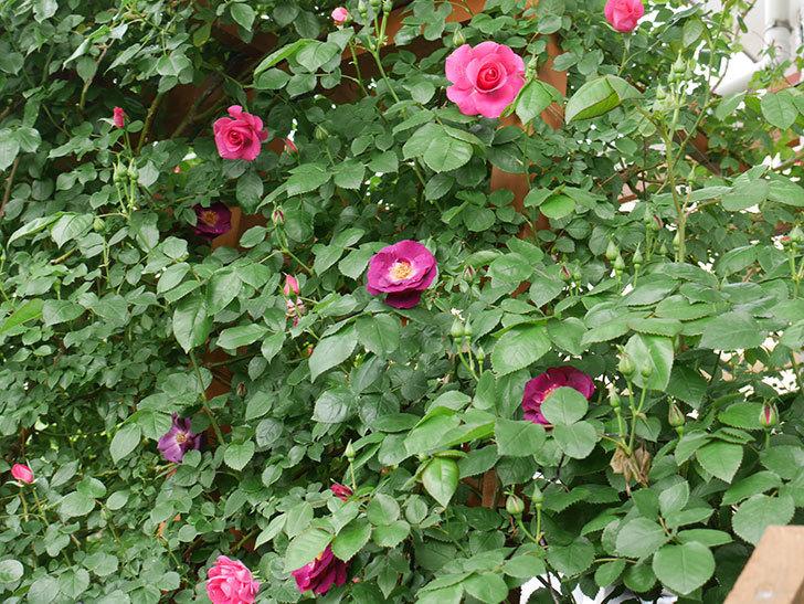 ソニャドール(ツルバラ)の花が増えて来た。2018年-7.jpg