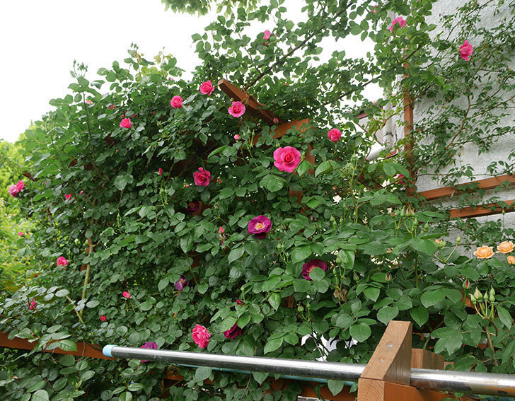 ソニャドール(ツルバラ)の花が増えて来た。2018年-8.jpg
