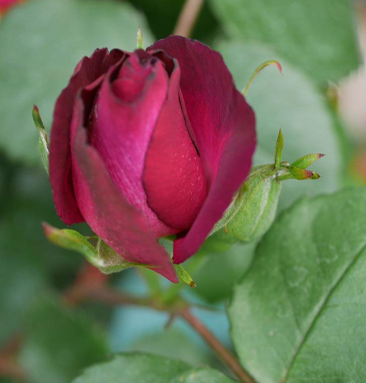 ソニャドール(ツルバラ)の花が増えて来た。2019年-5.jpg