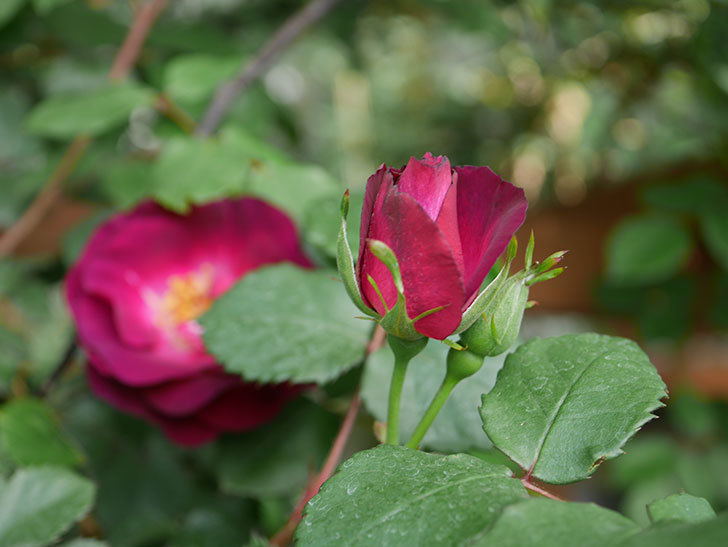 ソニャドール(ツルバラ)の花が増えて来た。2019年-6.jpg