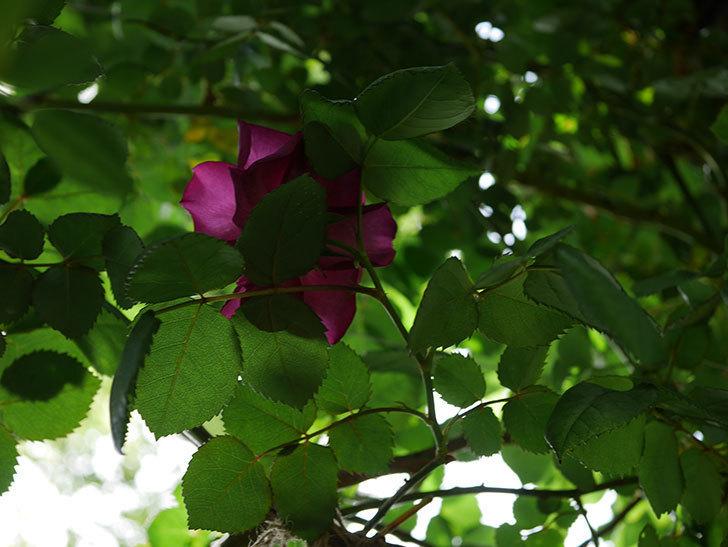 ソニャドール(ツルバラ)の花が増えて来た。2019年-7.jpg