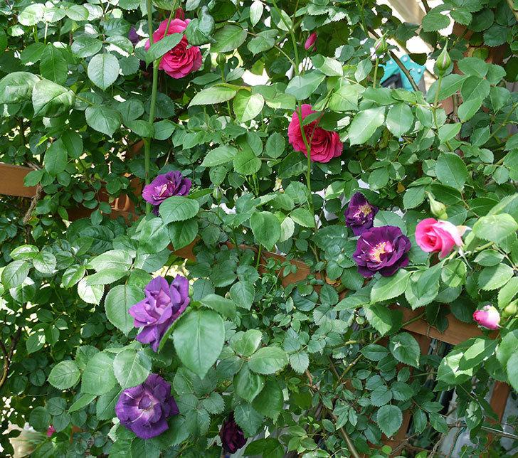 ソニャドール(ツルバラ)の花が増えて良い感じになってきた。2017年-1.jpg