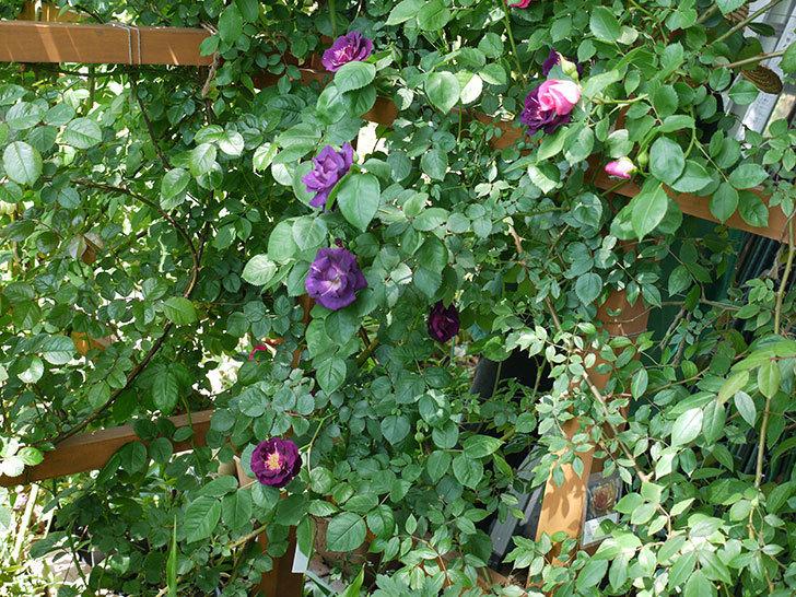 ソニャドール(ツルバラ)の花が増えて良い感じになってきた。2017年-10.jpg