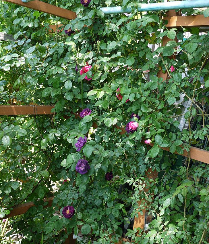 ソニャドール(ツルバラ)の花が増えて良い感じになってきた。2017年-11.jpg