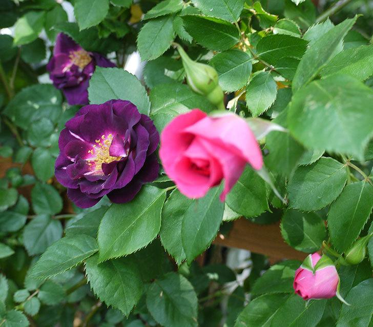ソニャドール(ツルバラ)の花が増えて良い感じになってきた。2017年-15.jpg