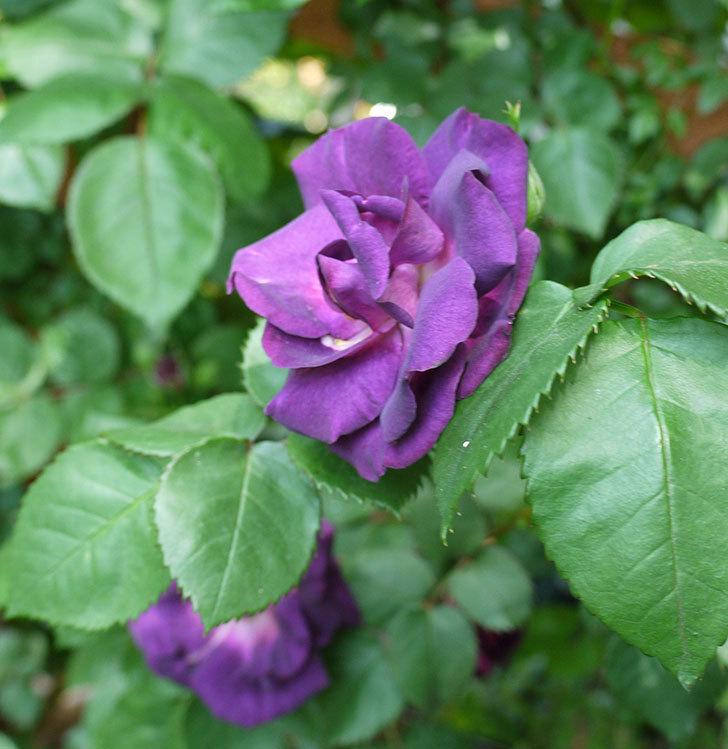 ソニャドール(ツルバラ)の花が増えて良い感じになってきた。2017年-16.jpg