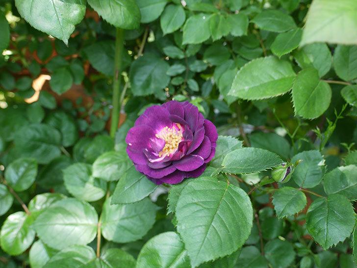 ソニャドール(ツルバラ)の花が増えて良い感じになってきた。2017年-17.jpg