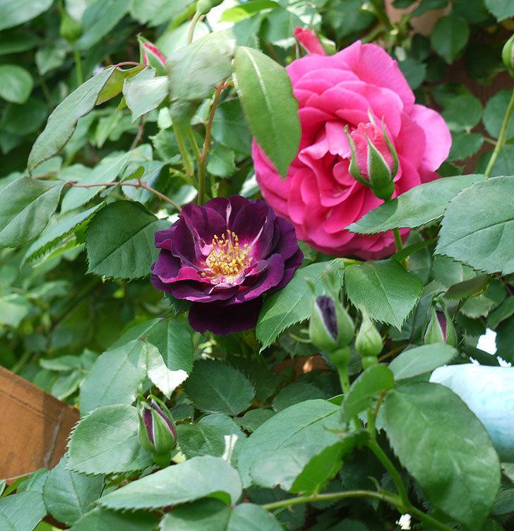 ソニャドール(ツルバラ)の花が増えて良い感じになってきた。2017年-18.jpg