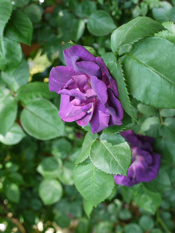 ソニャドール(ツルバラ)の花が増えて良い感じになってきた。2017年-19.jpg