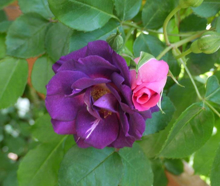 ソニャドール(ツルバラ)の花が増えて良い感じになってきた。2017年-2.jpg