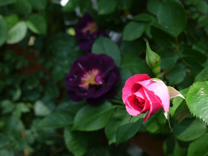ソニャドール(ツルバラ)の花が増えて良い感じになってきた。2017年-20.jpg