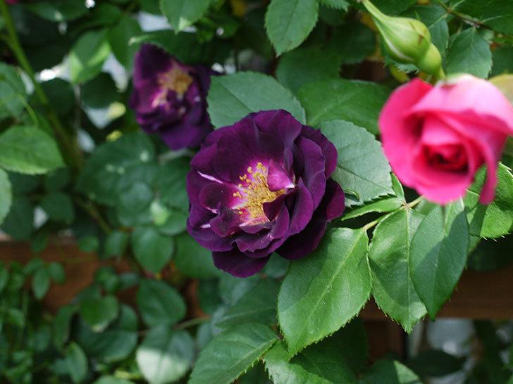 ソニャドール(ツルバラ)の花が増えて良い感じになってきた。2017年-21.jpg