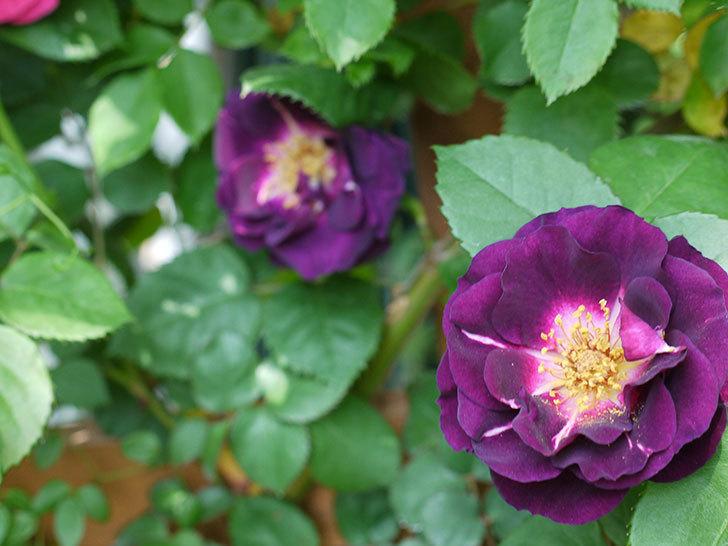 ソニャドール(ツルバラ)の花が増えて良い感じになってきた。2017年-22.jpg