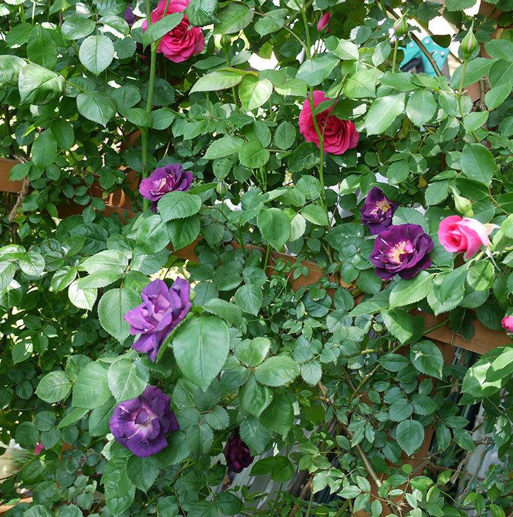 ソニャドール(ツルバラ)の花が増えて良い感じになってきた。2017年-23.jpg