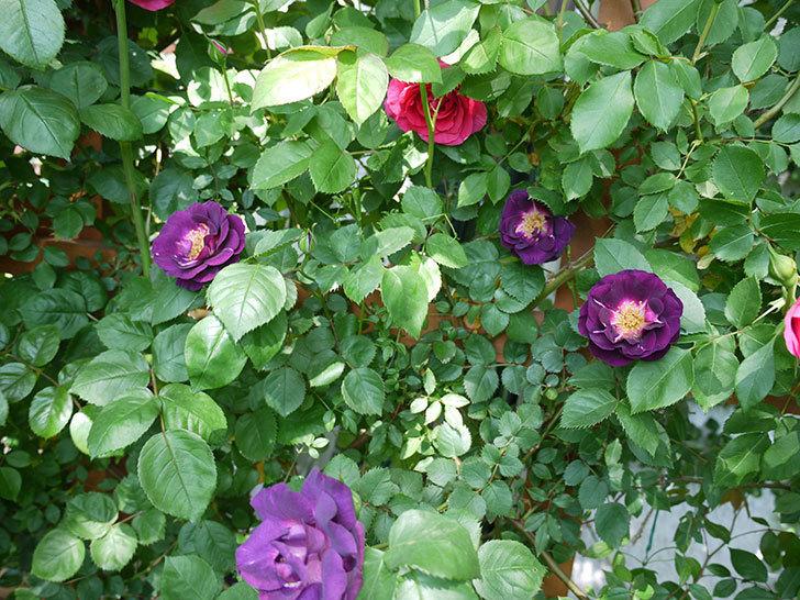 ソニャドール(ツルバラ)の花が増えて良い感じになってきた。2017年-25.jpg