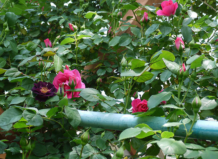 ソニャドール(ツルバラ)の花が増えて良い感じになってきた。2017年-26.jpg