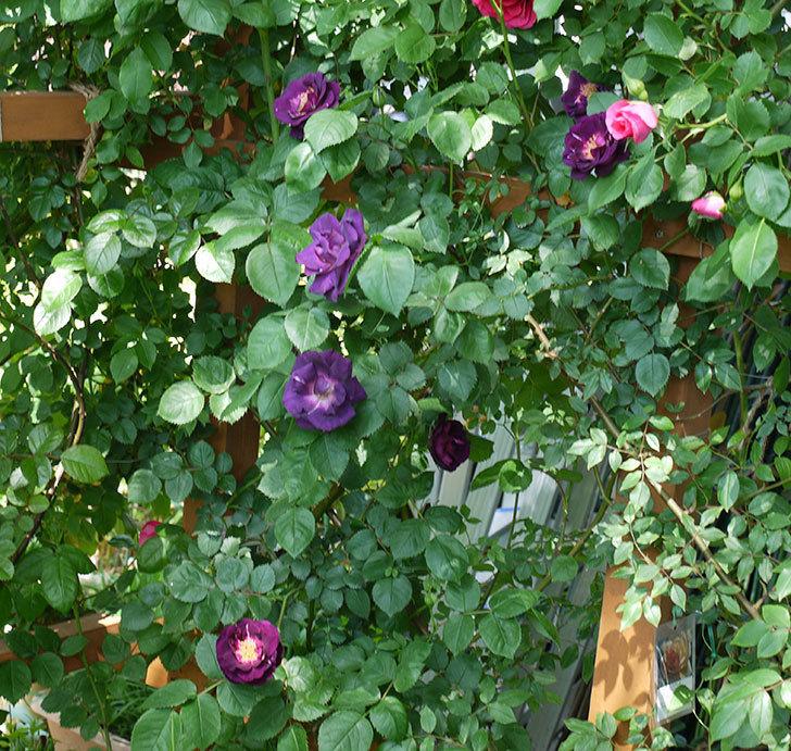 ソニャドール(ツルバラ)の花が増えて良い感じになってきた。2017年-27.jpg
