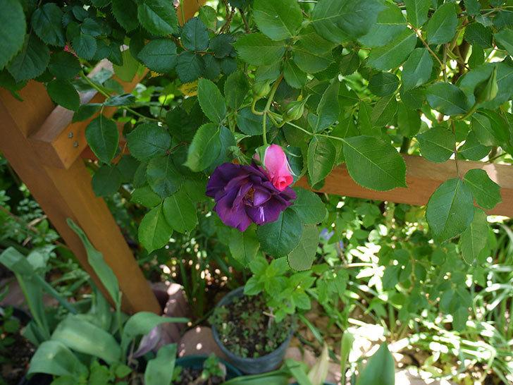 ソニャドール(ツルバラ)の花が増えて良い感じになってきた。2017年-4.jpg