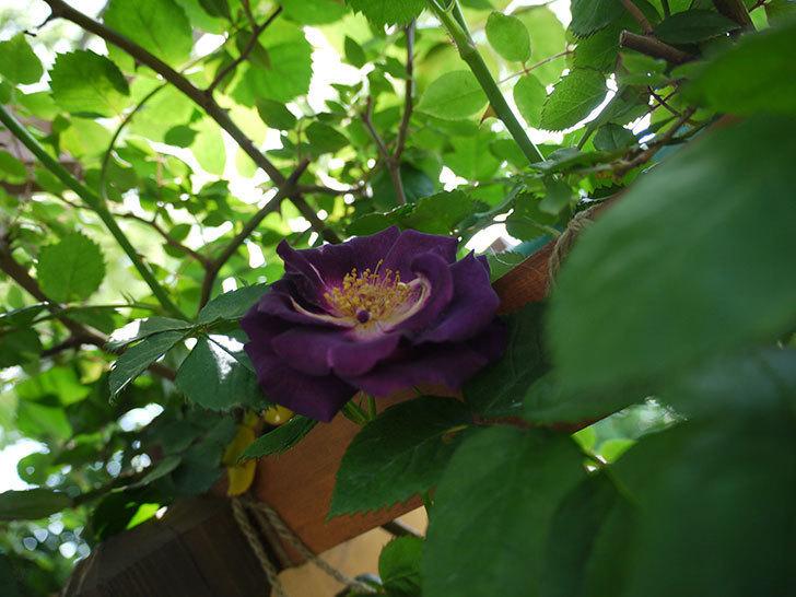 ソニャドール(ツルバラ)の花が増えて良い感じになってきた。2017年-6.jpg