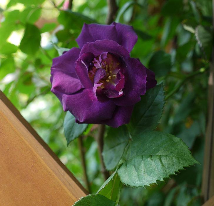 ソニャドール(ツルバラ)の花が増えて良い感じになってきた。2017年-8.jpg