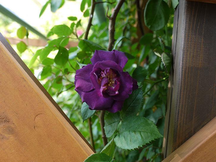 ソニャドール(ツルバラ)の花が増えて良い感じになってきた。2017年-9.jpg