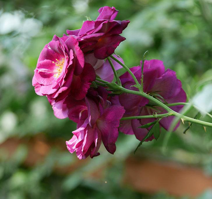 ソニャドール(ツルバラ)の花が房で咲いた。2019年-1.jpg