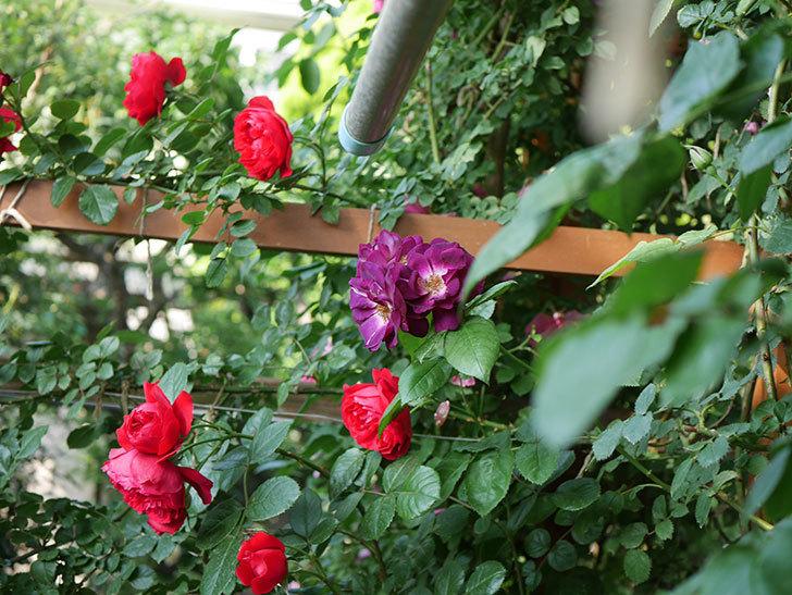 ソニャドール(ツルバラ)の花が房で咲いた。2019年-10.jpg