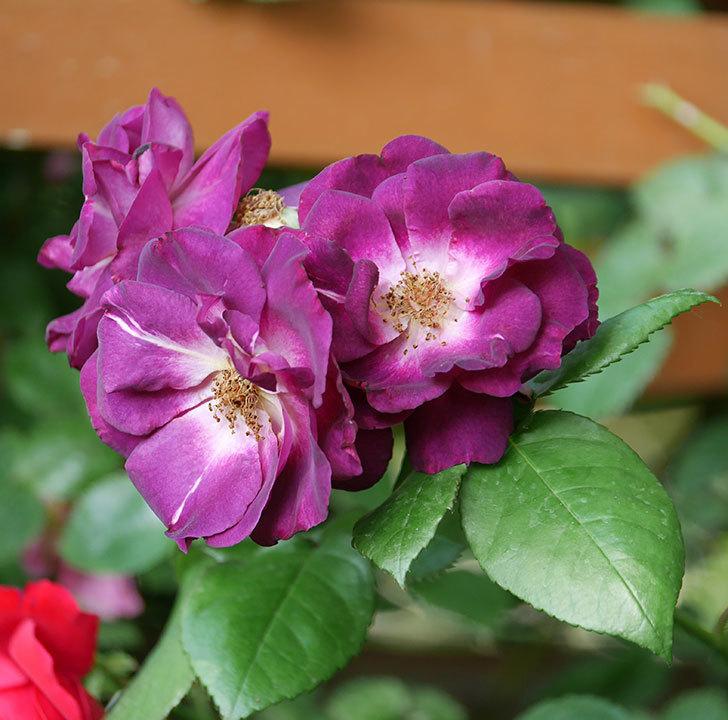 ソニャドール(ツルバラ)の花が房で咲いた。2019年-2.jpg