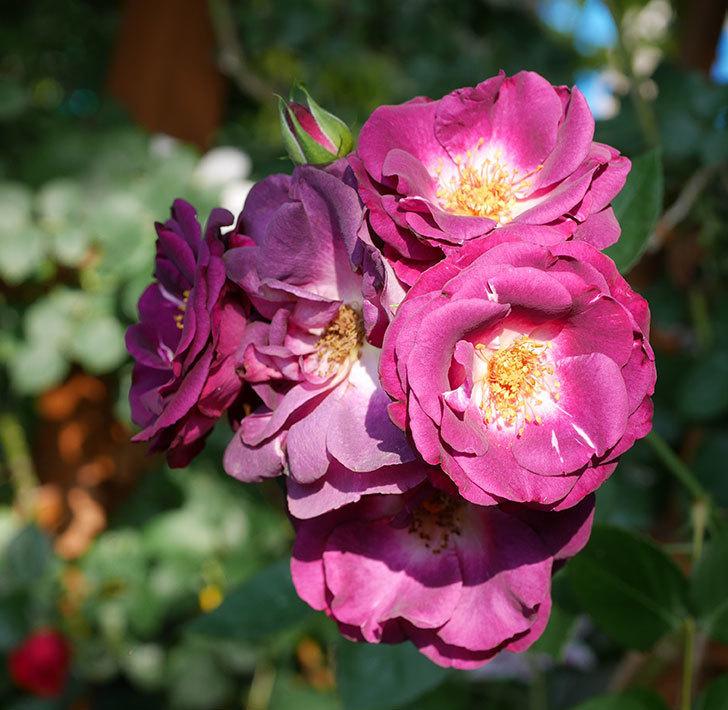 ソニャドール(ツルバラ)の花が房で咲いた。2019年-4.jpg