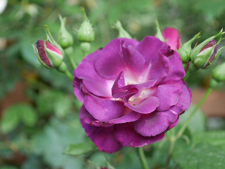 ソニャドール(ツルバラ)の花が房で咲いた。2019年-6.jpg