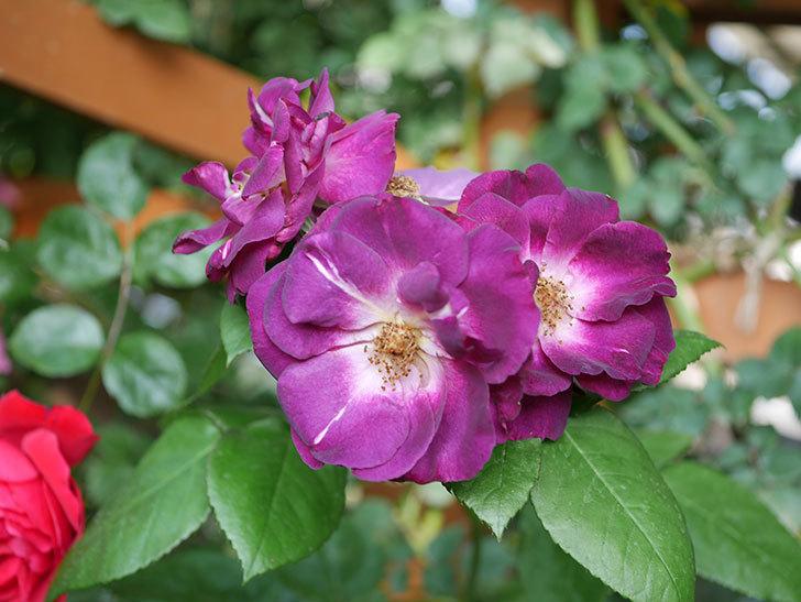 ソニャドール(ツルバラ)の花が房で咲いた。2019年-7.jpg