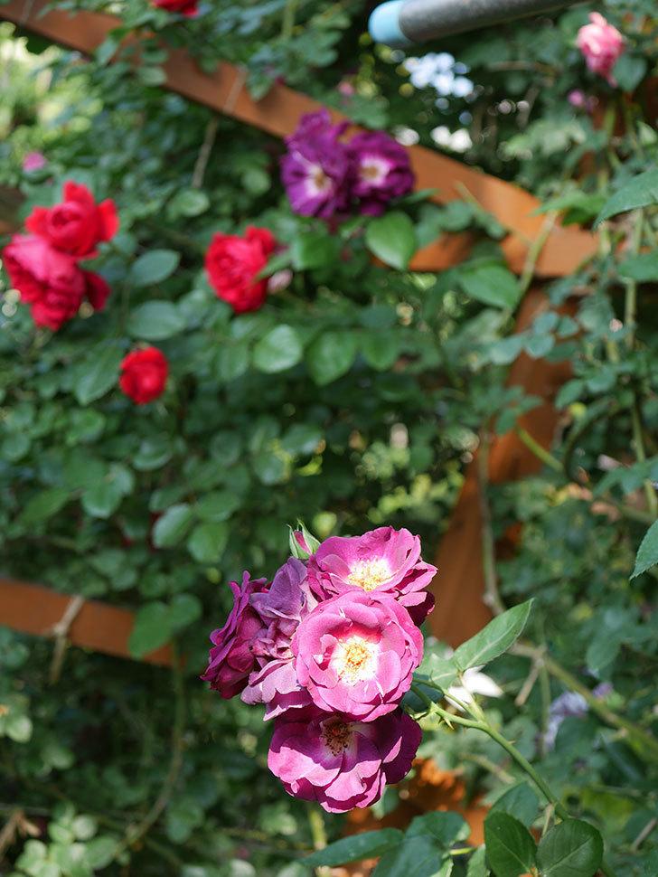 ソニャドール(ツルバラ)の花が房で咲いた。2019年-8.jpg