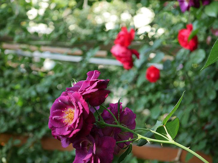 ソニャドール(ツルバラ)の花が房で咲いた。2019年-9.jpg