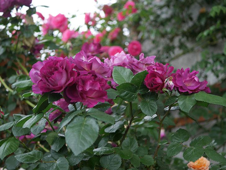 ソニャドール(ツルバラ)の花が満開になった。2020年-001.jpg