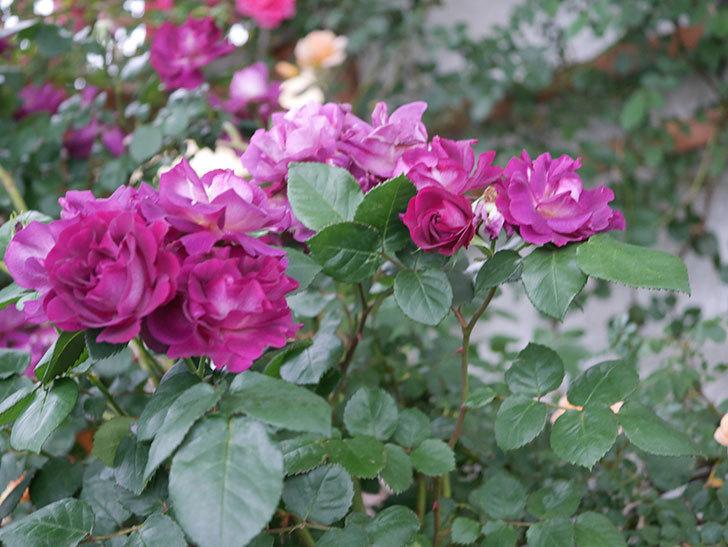ソニャドール(ツルバラ)の花が満開になった。2020年-002.jpg