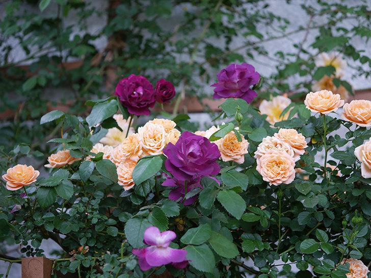 ソニャドール(ツルバラ)の花が満開になった。2020年-003.jpg
