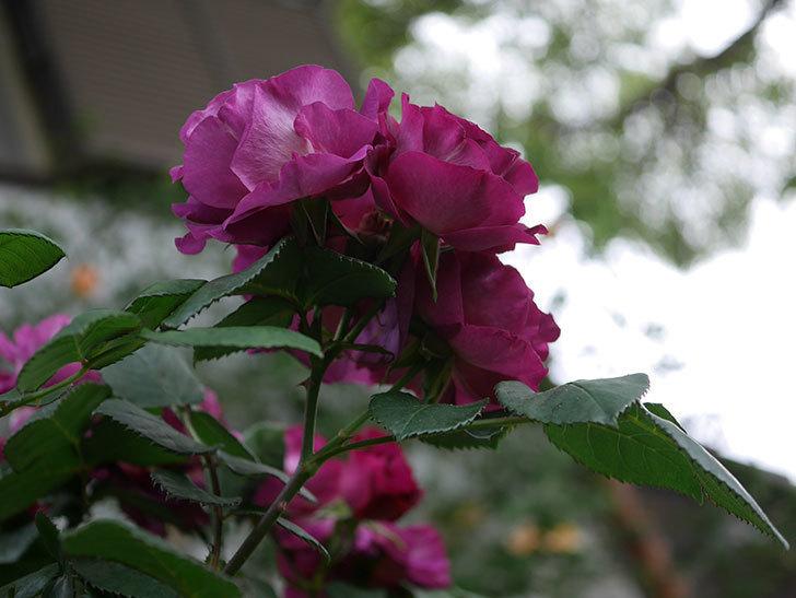 ソニャドール(ツルバラ)の花が満開になった。2020年-005.jpg