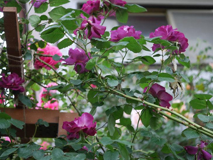 ソニャドール(ツルバラ)の花が満開になった。2020年-006.jpg