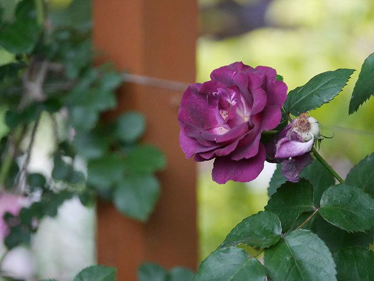 ソニャドール(ツルバラ)の花が満開になった。2020年-007.jpg